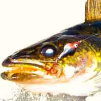 The walleye fishing lures category
