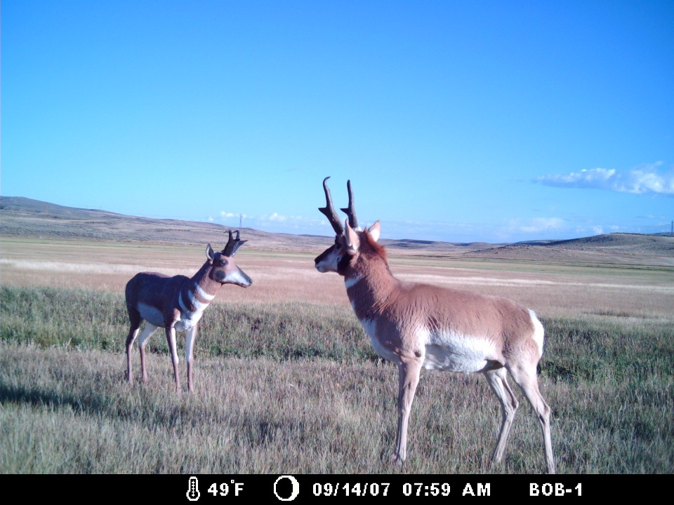 Antelope checking out Antelope decoy