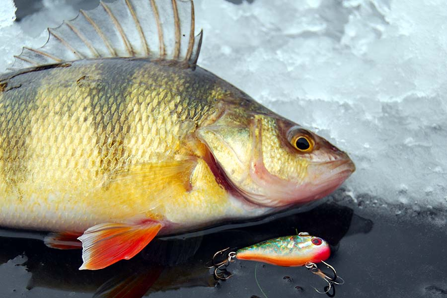 Lindy land cold front conundrum for Ice fishing perch lures