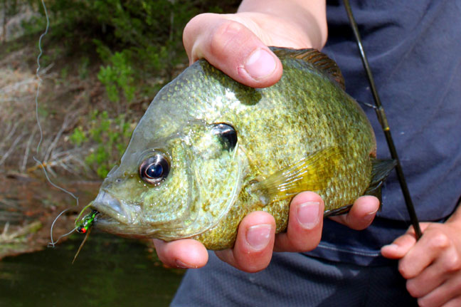 fall fly fishing for bluegill in ohio
