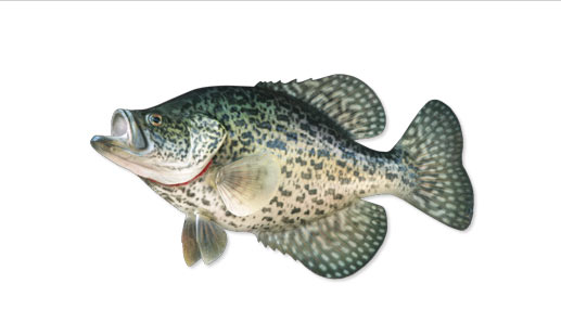 Crappie Fish Species Information