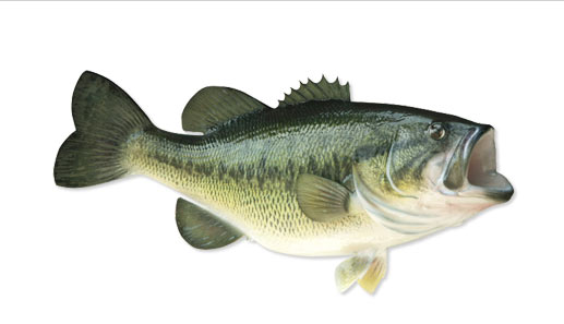 large mouth bass info