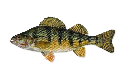 Largemouth Bass and Bass habitat, bait and fishing tackle used to