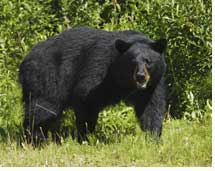 Protect Game Cameras Against Bears and Thieves