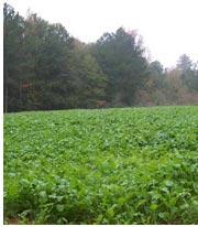 Food plots need maintenance to remain effective